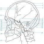 Frontal y lateral de cráneo al detalle